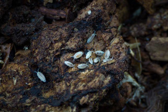 Stonogi tropikalne Trichorhina tomentosa