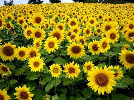 Słonecznik ozdobny nasiona Taiyo na kwiat cięty certyfikowany