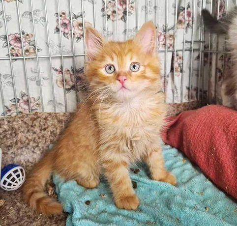 Рыжее счастье Лучик, котенок котята кот кошка