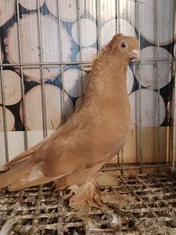 Gołębie ozdobne wywrotka, wywrotka sredniodzioby samica