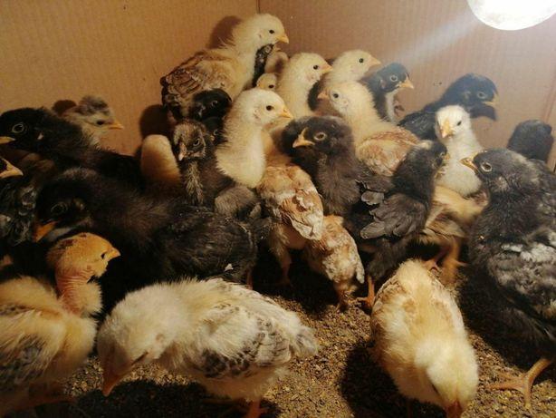 Продаємо курчат, каченят та інкубаційні яйця домашніх курей