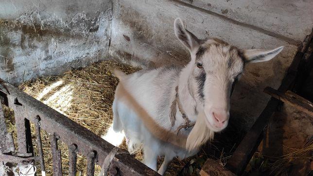Продам дві кози старша 4роки,і менша 8міс.
