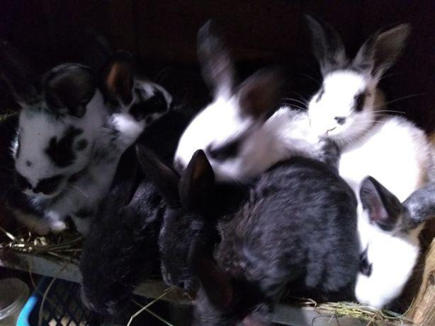 Młode króliki królik