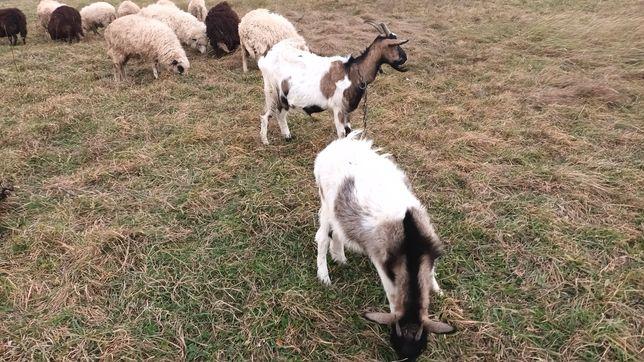 Прод кози, козенята