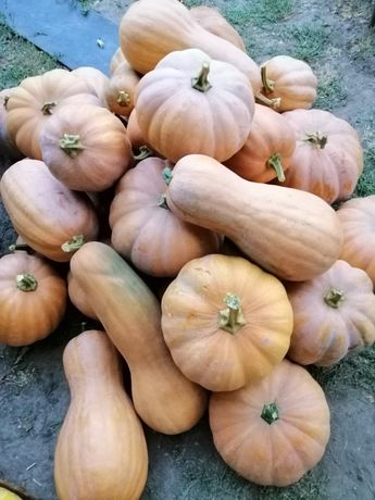 Тыква домашняя без ГМО