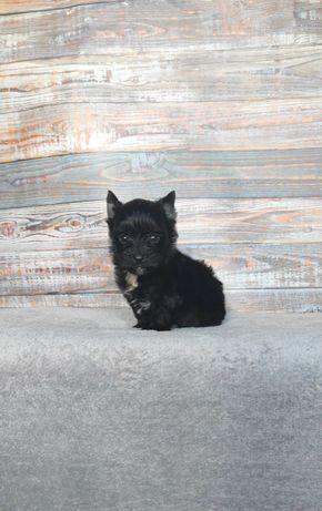 Black Yorkshire Terrier, piesek