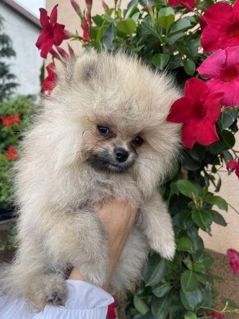 Pomeranian IDEALNY piesek BOO!!!