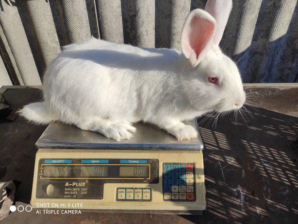 Продам кролей, кроликов на племя.
