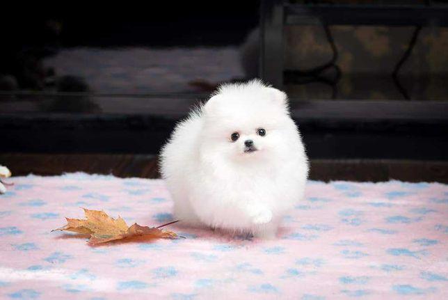 Szpic Pomeranian miniaturowy