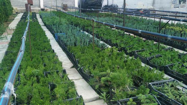 Хвойные растения.Р9 ХвояП9.Можжевельник.Туя.Смарагд.Ель.Тис.ПихтаСосна