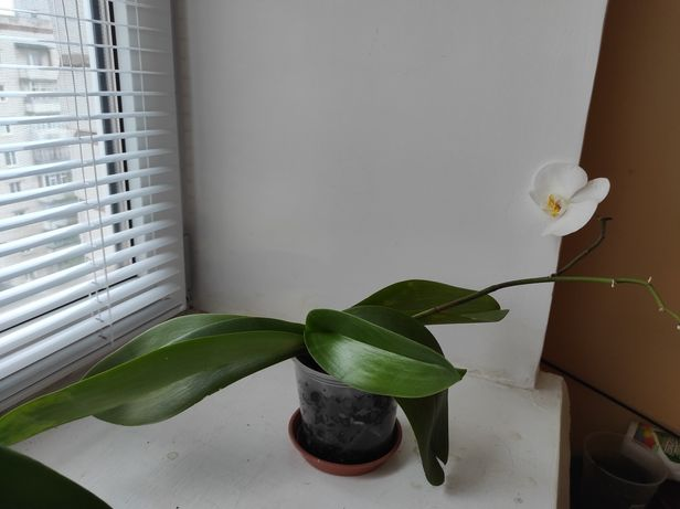 Фаленопсисы белые