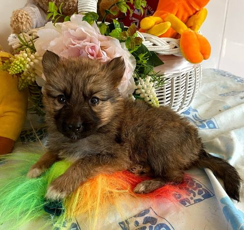 Мини собачка Корица 1 месяц щенок собака пес