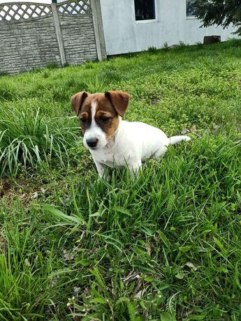 Jack Russell terrier suczka 12 tygodni