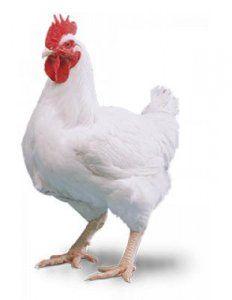 Kury Kurczaki brojlery z własnej Hodowli !!!