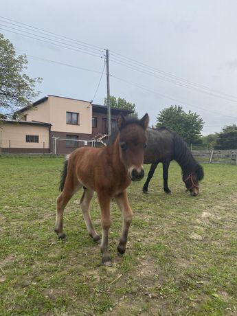 Koń Ogierek Bruno