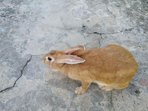 Coelha adulta raça Palomino