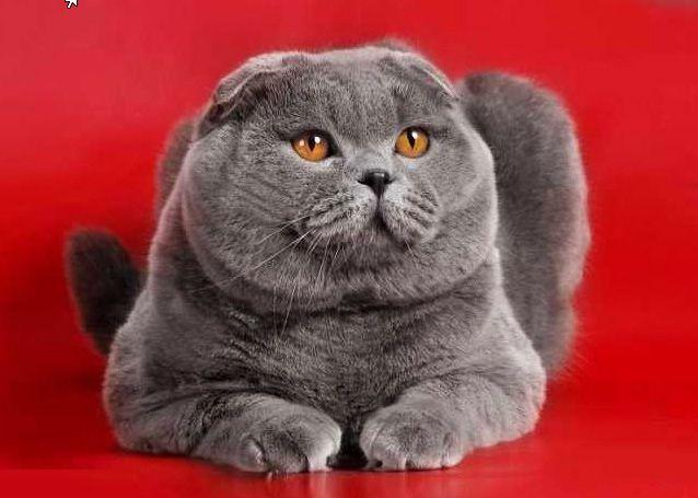 Голубой кот вязка