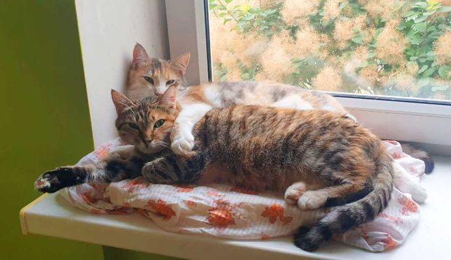 Варя і Фелічита, дві кішки в пошуках дому (черепашковий окрас, 1 рік)!