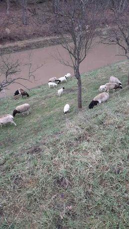 Вівці, баран, ярки, дорпер