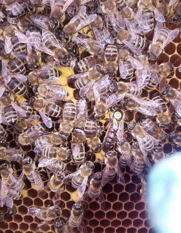 Спокойное пчеловодство- Это легко. Закажи Скленар-Пешец (Карника)