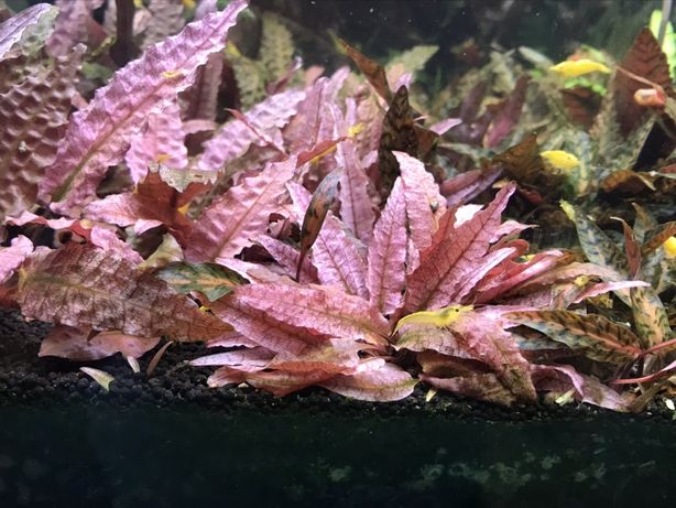 Cryptocoryne flamingo