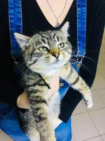 Отдам котенка лесного окраса,девочка, 9 месяцев, стерилизована