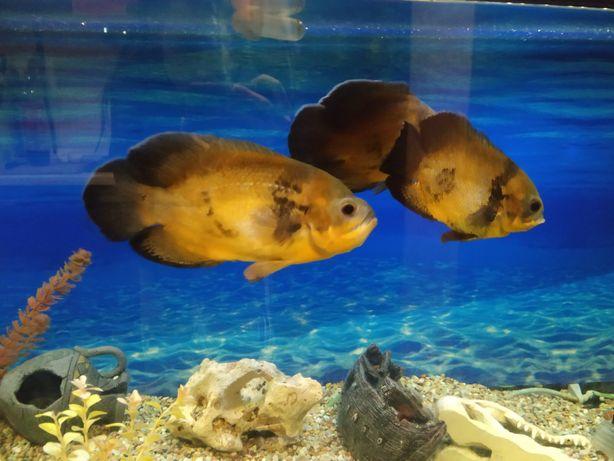 Риби Астронотус 3шт