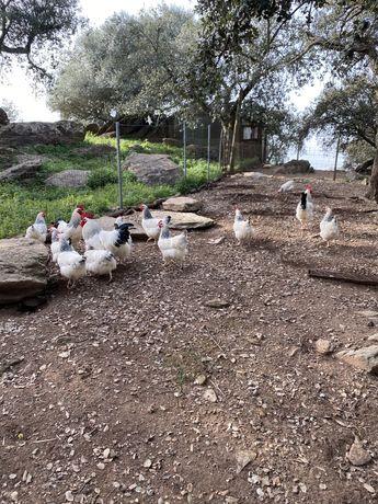 Ovos de galinhas sussex ligth (12 ovos)