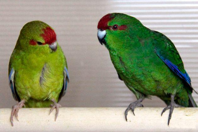 Какарік салатовий папугай на Левандівці