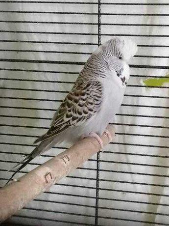 Papuzka falista WPF samce