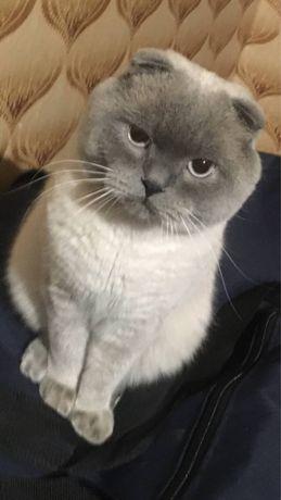 Красивый шотландский вислоухий кот ищет невесту