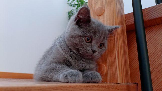 Kotki Brytyjskie Niebieski Rodowod