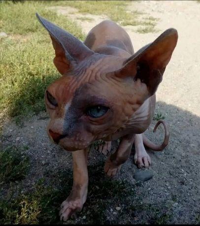 Кошка порода сфинкс