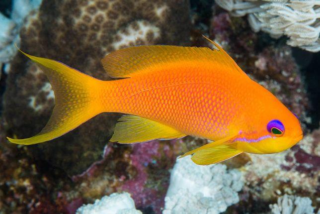 Morskie - Pseudanthias squamipinnis(Female) m