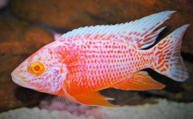 Aulonocara red dragon albino