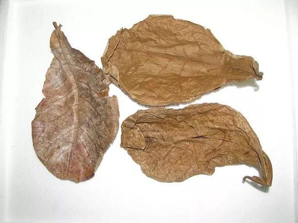 Liść ketapangu (migdałecznika) ok. 15 cm, 1 szt./1,60 zł