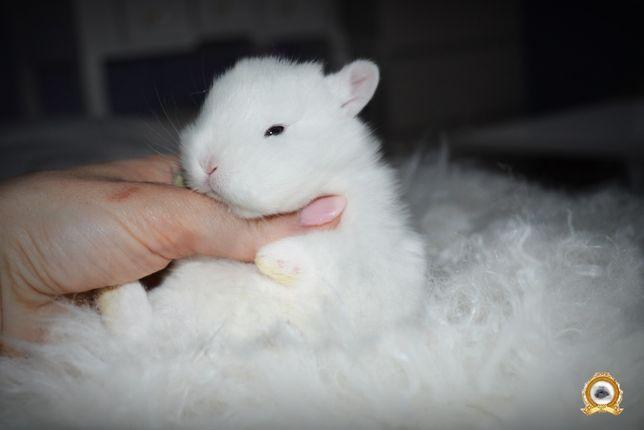 DO ODBIORU Króliki królik MINI LOP Karzełek teddy kroliki ozdobne