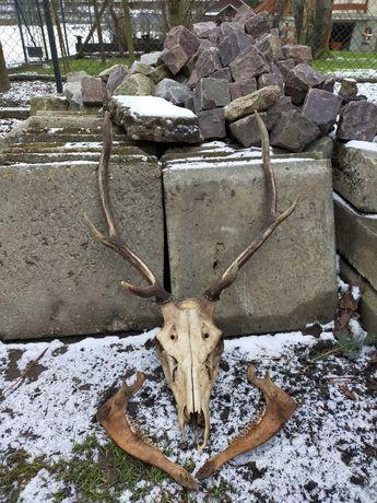 Poroże jelenia z żuchwą
