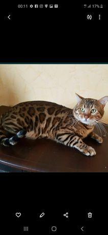 Бенгальский  кот . Вязка.