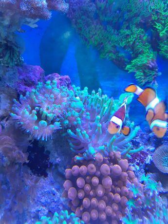 Koralowce, Ukwial