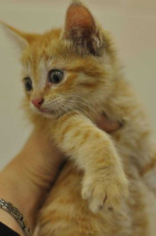 Котенок, рыжий, мальчик