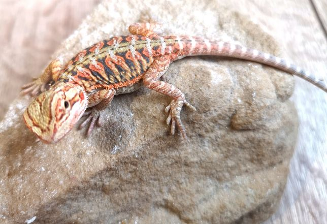 Agama brodata Hypo Red/yellow Leatherback