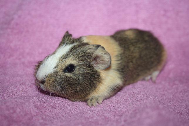 Месячные заморские свинки в продаже с комплектацией