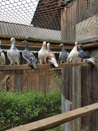 Gołębie staropolskie i rzeszowskie