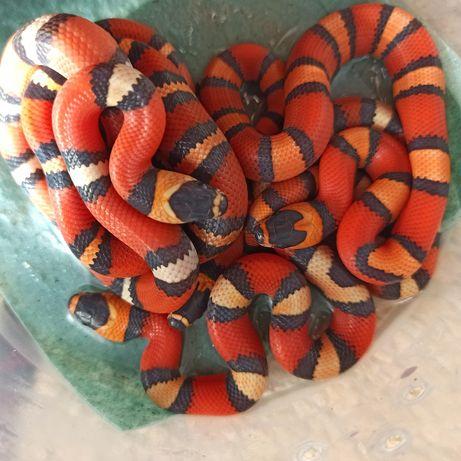 Гондурасские молочные змеи