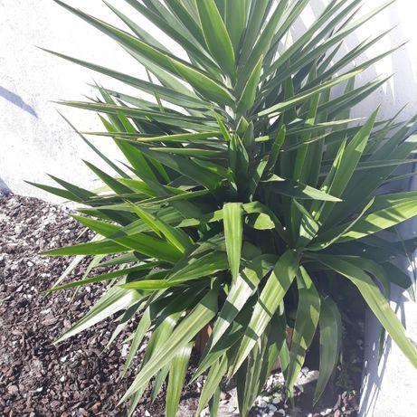 Palmeira / planta yuca elefante