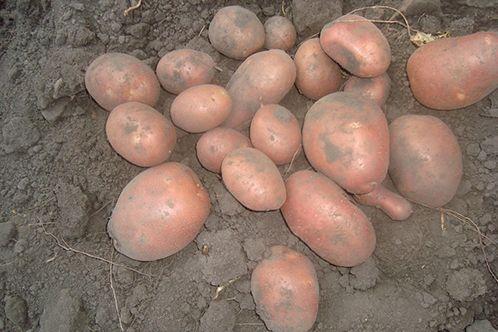 Продам велику картоплю з присадибної ділянки, близько 3 т