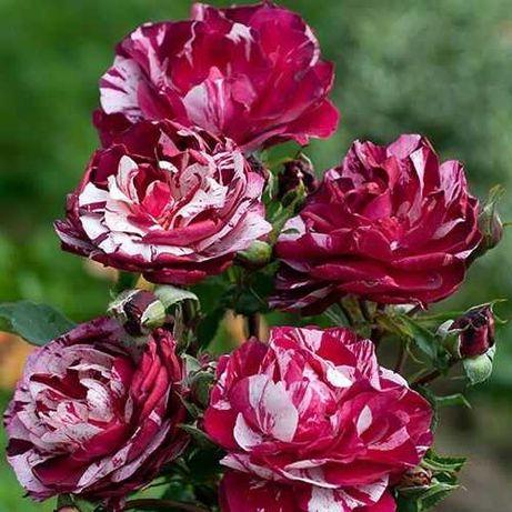 Róża rabatowa w doniczce paskowana (R19)