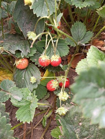 Саджанці полуниці, що дає урожай 2 рази на рік. 5 грн.
