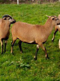 Owce kameruńskie.